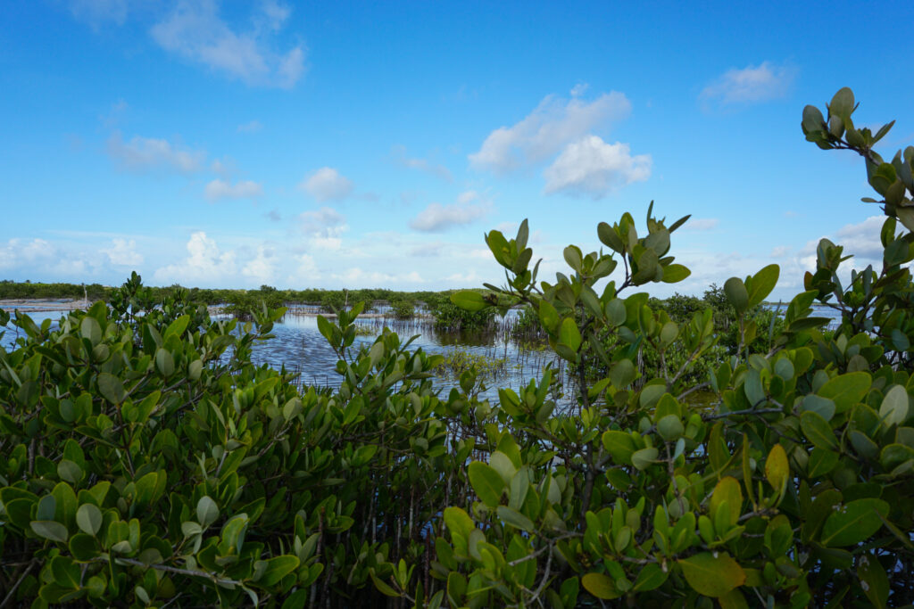Mangroves are back at formerly degrades area in Yucatan, Ciénaga del Progures. Photo by Yoly Gutierrez/CIFOR cifor.org forestsnews.cifor.org If you use one of our photos, please credit it accordingly and let us know. You can reach us through our Flickr account or at: cifor-mediainfo@cgiar.org and m.edliadi@cgiar.org
